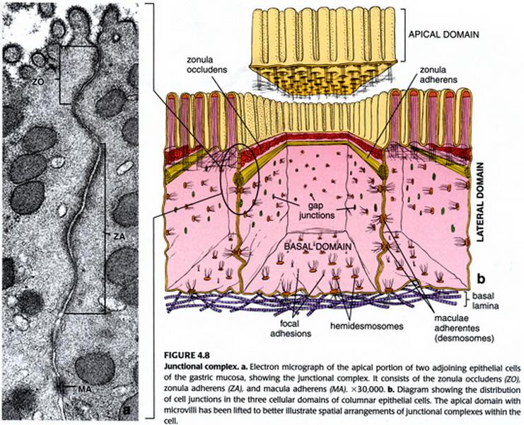solunsisäinen neste koostumus