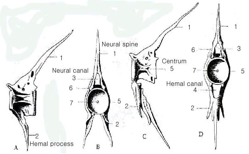 Vertebral Column And Notochord